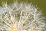 dandelion close up nature background  Dmuchawce Fototapeta