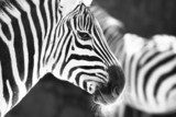 monochrome photo  - detail head zebra in ZOO  Zwierzęta Fototapeta