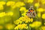 Painted Lady butterfly  on a flowering immortelle  Motyle Fototapeta