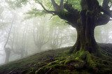 foggy forest with mysterious trees with twisted roots  Las Fototapeta