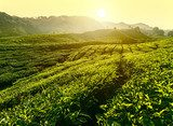 Sunset at tea plantation landscape, Cameron Highlands, Malaysia  Krajobraz Fototapeta