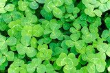 Carpet of green three-leaf clover cover a meadow  Tekstury Fototapeta