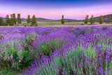 Sunset over a summer lavender field in Tihany, Hungary  Prowansja Fototapeta