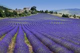 Endless rows in lavender field (Provence,France)  Prowansja Fototapeta