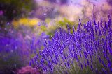 Garden flowers  Lavendar colorful background  Prowansja Fototapeta