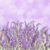 Lavender flowers on white  Prowansja Fototapeta