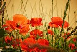 Field of  Poppy Flowers Papaver rhoeas in Spring  Maki Fototapeta