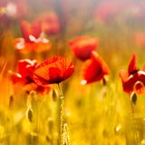 Field of beautiful red poppies  Fototapety Maki Fototapeta