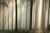 Sun rays pass through trees in a coniferous forest  Las Fototapeta