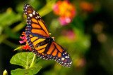 Monarch Butterfly (danaus plexippus) feeeding on flowers  Motyle Fototapeta