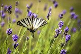 Iphiclides podalirius butterfly on lavender flowers  Motyle Fototapeta
