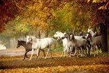 herd of horses on a rural road in autumn  Plakaty do Sypialni Plakat