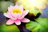 Blooming floating waterlilly closeup. Lotus flower in pond  Plakaty do Sypialni Plakat