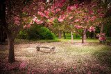 Tranquil garden bench surrounded by cherry blossom trees  Plakaty do Sypialni Plakat