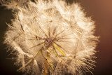 Flower Dandelion. Close-up  Dmuchawce Fototapeta