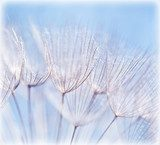 Abstract dandelion flower background  Dmuchawce Fototapeta