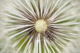 Dandelion seed cap ready to fly away,  Dmuchawce Fototapeta