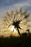 dandelion at sunset  Dmuchawce Fototapeta