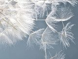 Dandelion clock: wishes and dreams    :)  Dmuchawce Fototapeta