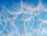 The Dandelion background. Macro photo of dandelion seeds.  Dmuchawce Fototapeta