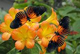 Tropical Rhododendron with 2 Doris Longwing Butterflies  Motyle Fototapeta