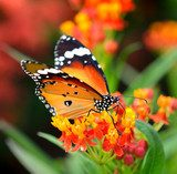 Butterfly on orange flower in the garden  Motyle Fototapeta