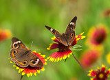 Buckeye butterflies on Indian Blanket flowers  Motyle Fototapeta
