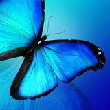 Blue butterfly on blue background  Motyle Fototapeta
