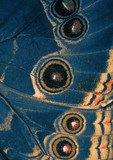 butterfly blue wing bottom side  Motyle Fototapeta