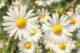 daisy flower field with shallow focus  Salon Plakat