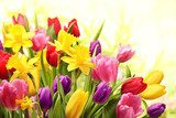 Colorful tulips and daffodils  Plakaty do Salonu Plakat