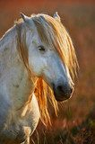 Portrait of a white horse of Camargue in backlight at the sunset  Salon Plakat