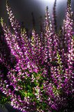 Heather flowers. Floral Design  Plakaty do Sypialni Plakat