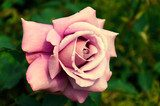 Light pink rose large  Plakaty do Sypialni Plakat