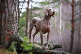 weimaraner dog and dry tree  Plakaty do Sypialni Plakat