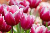 Water drop on pink tulip  Plakaty do Sypialni Plakat