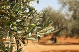 Olive plantation and olives on branch  Obrazy do Kuchni  Obraz