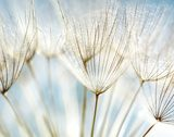 Abstract dandelion flower background  Tekstury Fototapeta