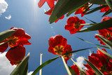 The sky from the ground between tulips  Na sufit Naklejka