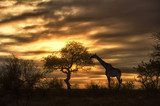 african giraffe walking in sunset  Afryka Fototapeta