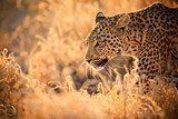 Leopard Walking at Sunset  Afryka Fototapeta