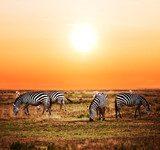 Zebras herd on African savanna at sunset. Safari in Serengeti  Afryka Fototapeta
