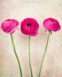 Three single ranunculus flowers on vintage background  Obrazy do Sypialni Obraz