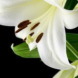 Close up of a beautiful white lily  Obrazy do Sypialni Obraz