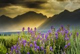 Purple Lupines in the Tetons  Obrazy do Sypialni Obraz