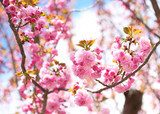 Sakura. Cherry Blossom in Springtime, Beautiful Pink Flowers  Obrazy do Sypialni Obraz