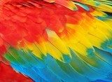 Parrot feathers, red and blue exotic texture  Obrazy do Sypialni Obraz