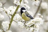 Great tit, Parus major, single bird on blossom  Zwierzęta Obraz