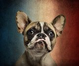 Close-up of a French Bulldog, on a vintage colored background  Zwierzęta Obraz