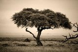 Lone acacia tree with gazelles in sepia  Krajobraz Fototapeta
